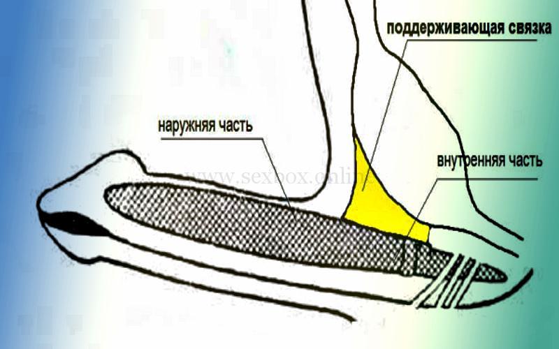 Фото: поддерживающая связка члена. Рассечение увеличит длину члена на 2-4 см. Навсегда эффект